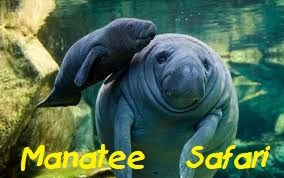 Manatee Safari