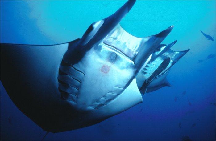 SSI Ecology Series of Classes, Marine Ecology, Shark Ecology, Coral Ecology, Fish Identification, Turtle Ecology, Manta Ray Ecology