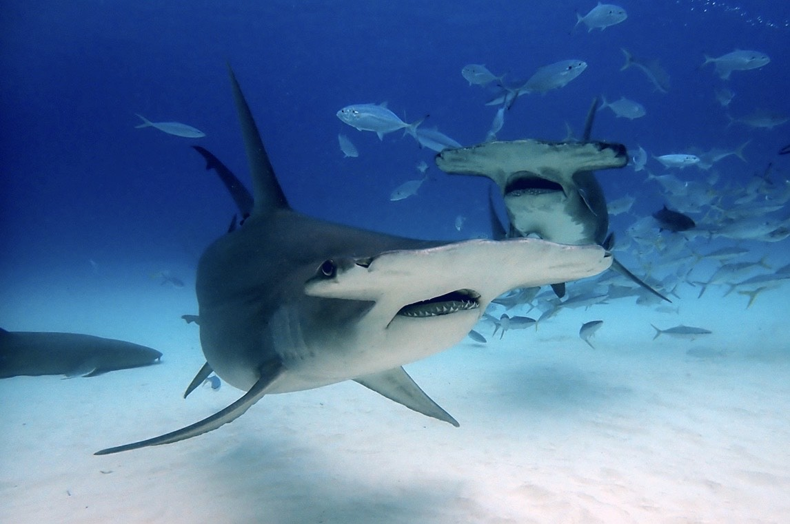 Dive with Hammerheads