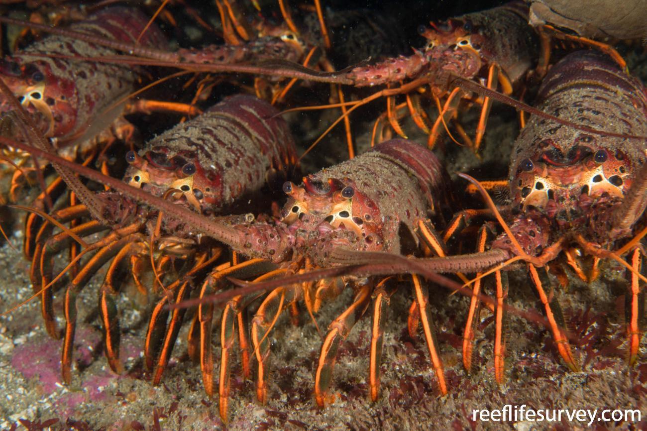California Lobster Diving 2021